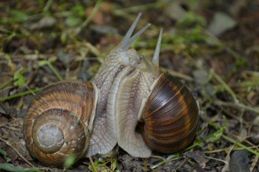 Two Snails - Free Stock Photo