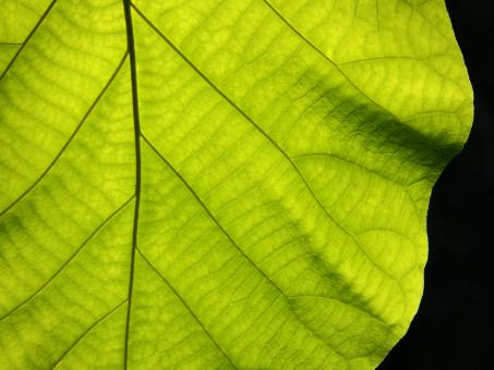 Texture of a green leaf as background - Free Stock Photo