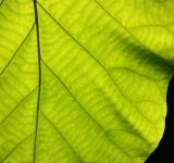 Free Photo - Texture of a green leaf as background