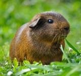 Free Photo - Brown Guinea