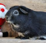 Free Photo - Black Guinea