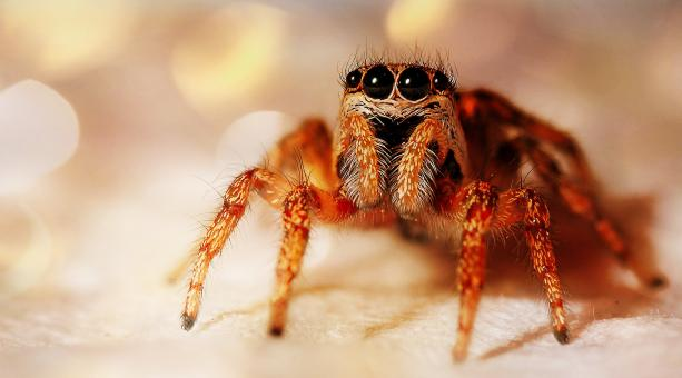 Jumping Spider - Free Stock Photo