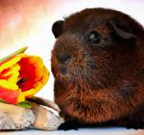 Free Photo - Guinea Pig