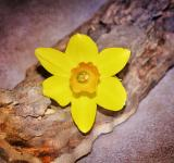 Free Photo - Narcissus