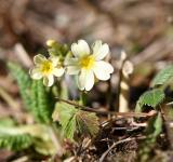 Free Photo - Cowslip