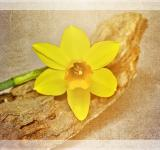 Free Photo - Yellow Narcissus