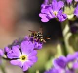 Free Photo - Fly on the Primrose