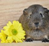 Free Photo - Flower and Guinea Pig