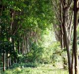 Free Photo - Rubber Plantation