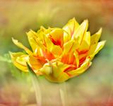 Free Photo - Yellow Tulip