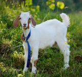 Free Photo - Lonely Goat