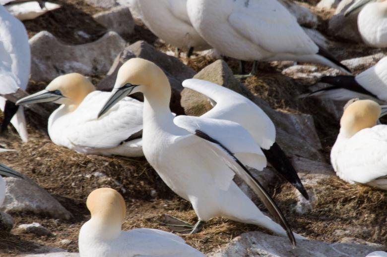 Free Stock Photo of Gannet Created by Geoffrey Whiteway
