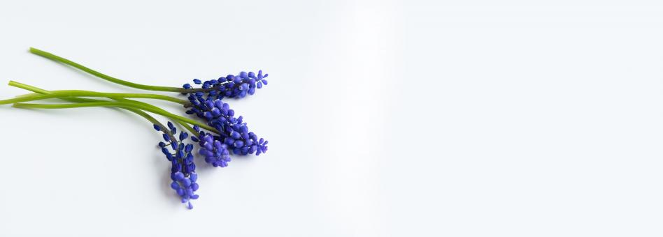 Grape Hyacinth - Free Stock Photo