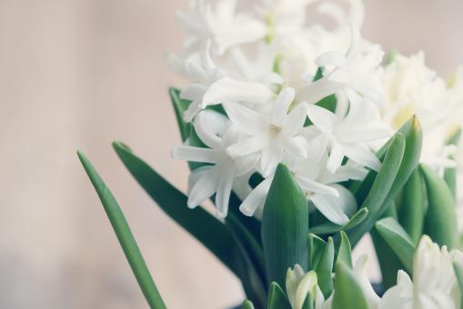 White Hyacinth - Free Stock Photo