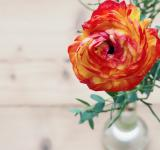 Free Photo - Orange Ranunculus