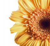 Free Photo - Orange Gerbera