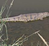Free Photo - Crocodile