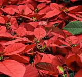Free Photo - Poinsettia