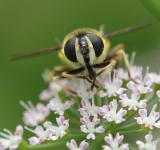 Free Photo - Hoverfly