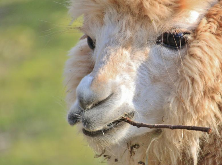 Free stock image of Alpaca created by Pixabay