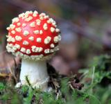 Free Photo - Fly-agaric