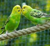 Free Photo - Budgerigars