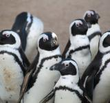 Free Photo - Penguins