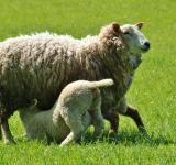 Free Photo - Lamb Feeding