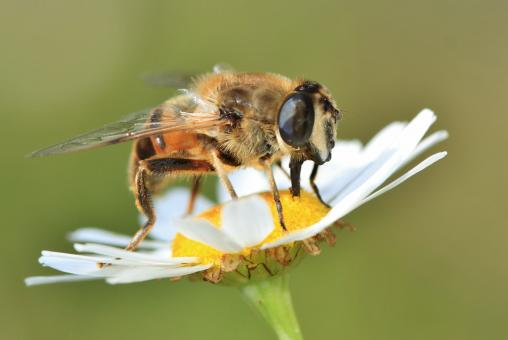 Bee on the Flower - Free Stock Photo