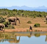 Free Photo - Wild Elephants