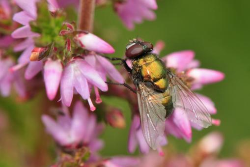 Fly on the Flower - Free Stock Photo