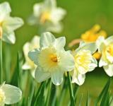 Free Photo - Daffodils in the Garden