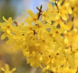Free Photo - Forsythia