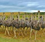 Free Photo - Ostriches