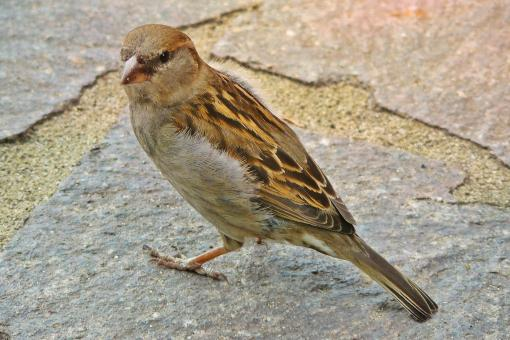 Sparrow - Free Stock Photo