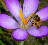 Free Photo - Bee on Crocus