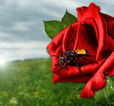 Free Photo - Fly on the Rose