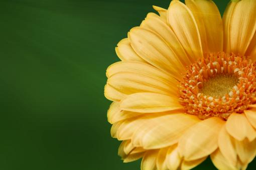 Gerbera in the Garden - Free Stock Photo