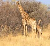 Free Photo - Wild Giraffe