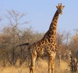 Free Photo - Giraffe in National Park