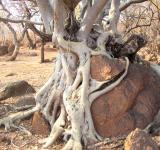 Free Photo - Roots of a Tree