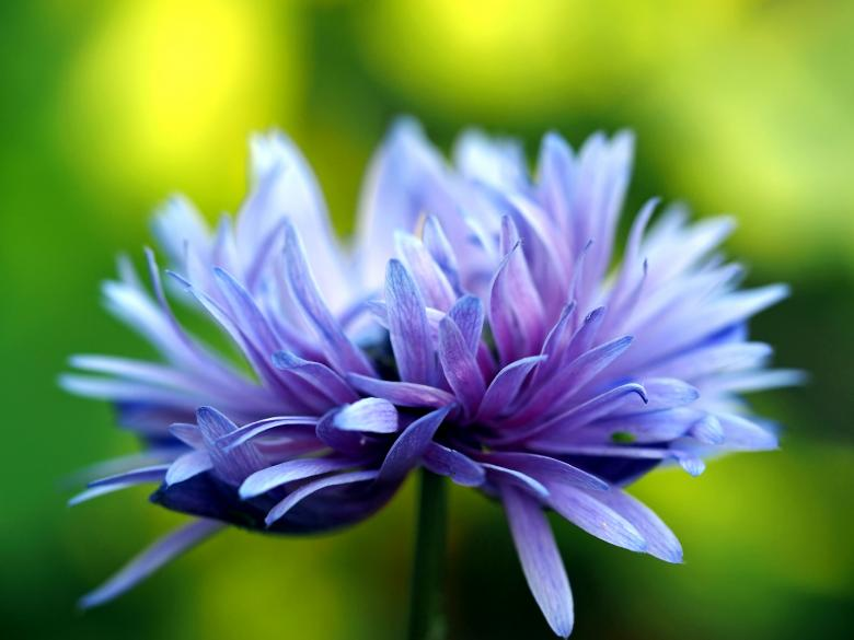 Free Stock Photo of Purple Flower in Bloom Created by Pixabay