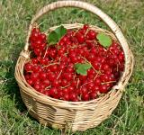 Free Photo - Red Currants