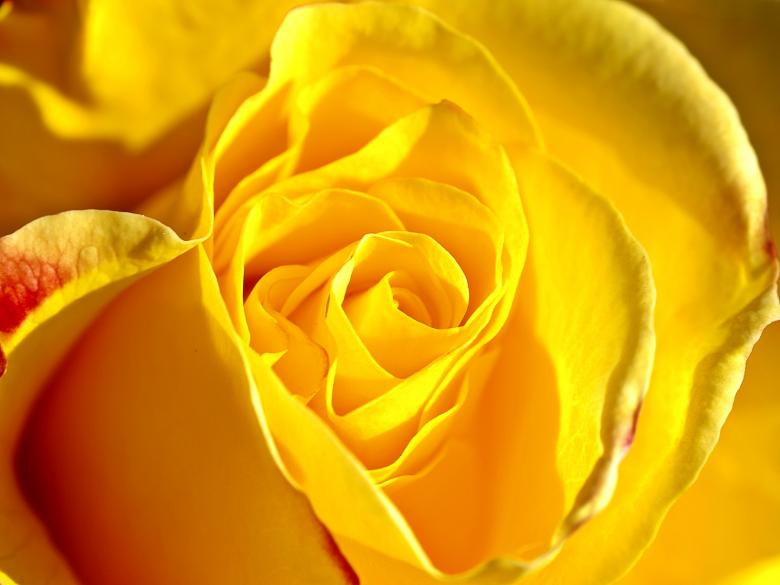 Free stock image of Yellow Rose created by Pixabay