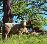 Free Photo - Group Of Sheeps