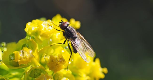 Housefly On Flower - Free Stock Photo