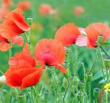 Free Photo - Poppy in the Garden