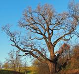 Free Photo - Oak Tree