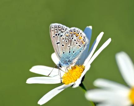Butterfly on the White Flower - Free Stock Photo