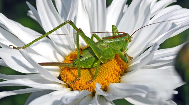Grasshopper on the Flower - Free Stock Photo